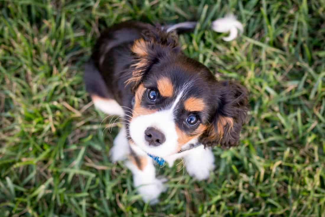 Welpen Erziehung Tricks - Hundewelpe auf Gras