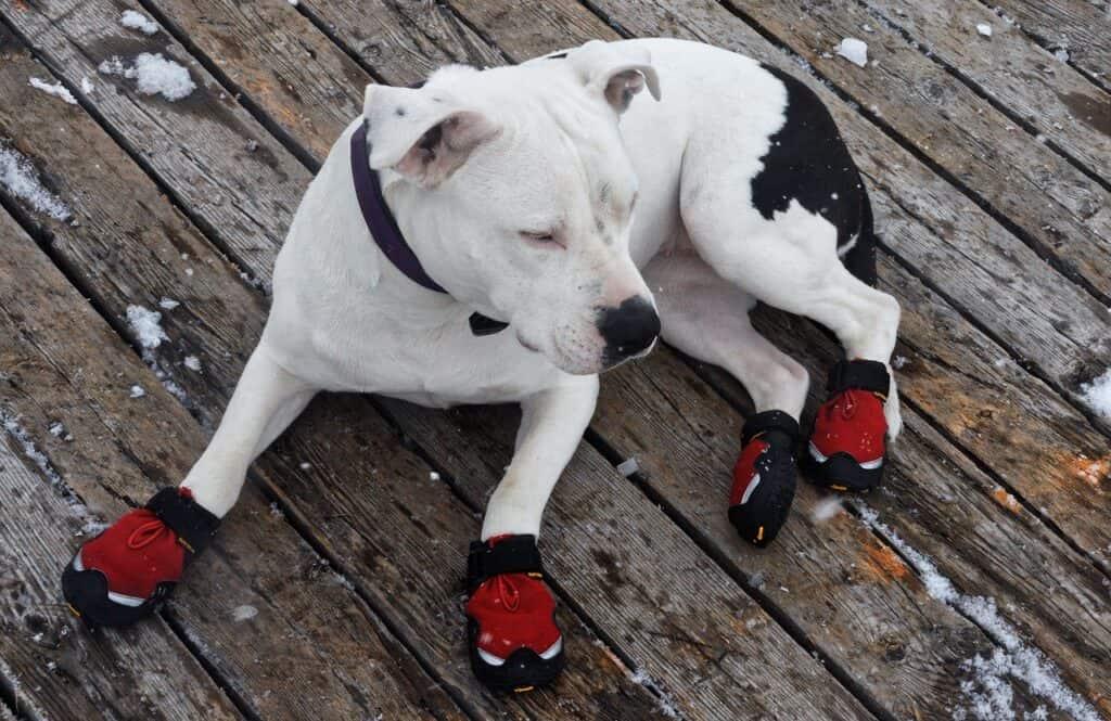 weißer Hund mit roten Hundeschuhen